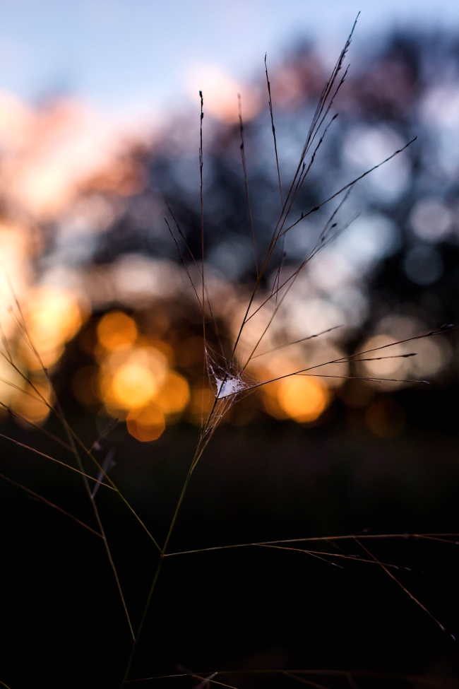 grasses spider web sunset-1 small