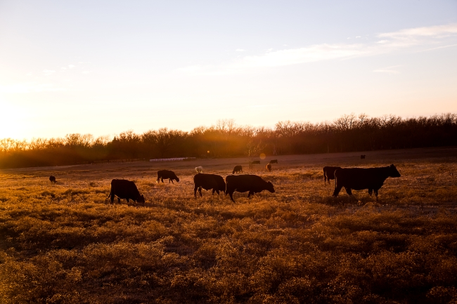 cattle field oklahoma sunset-1 small