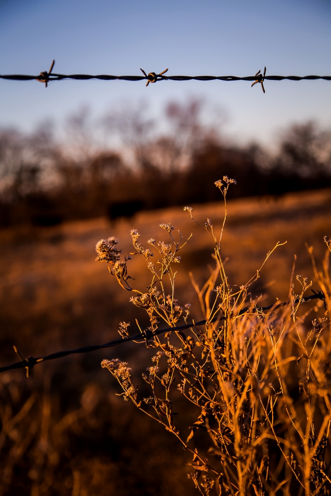 cattle field oklahoma sunset-2 small