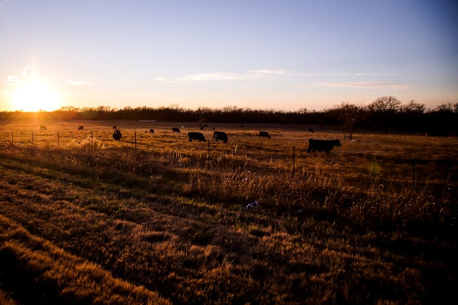 cattle field oklahoma sunset-8 small