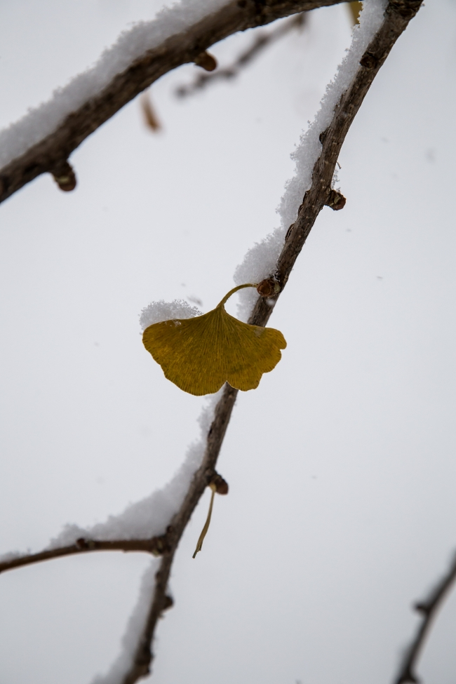 ginkgo leaves in snow-3 small