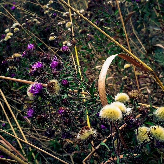 missouri native flowers-6 small