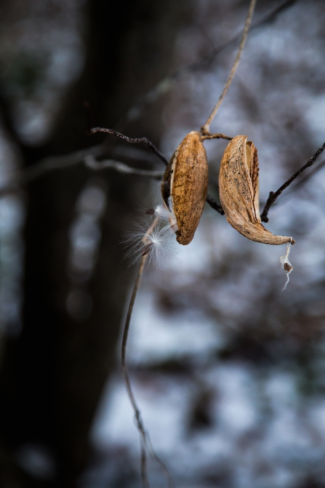 milkweed seedpods in winter-2 small