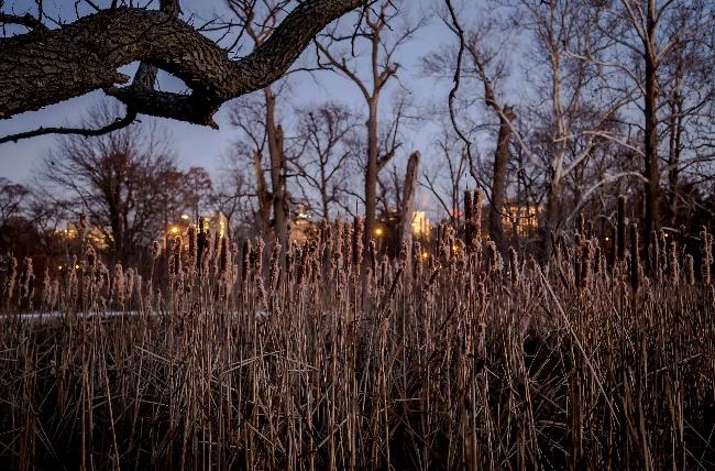 winter cattails forest park saint louis-1 small