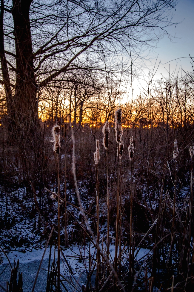 winter cattails forest park saint louis-2 small