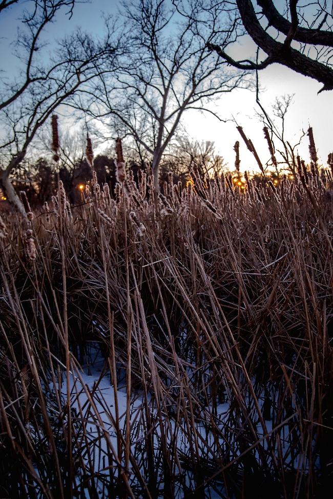 winter cattails forest park saint louis-3 small