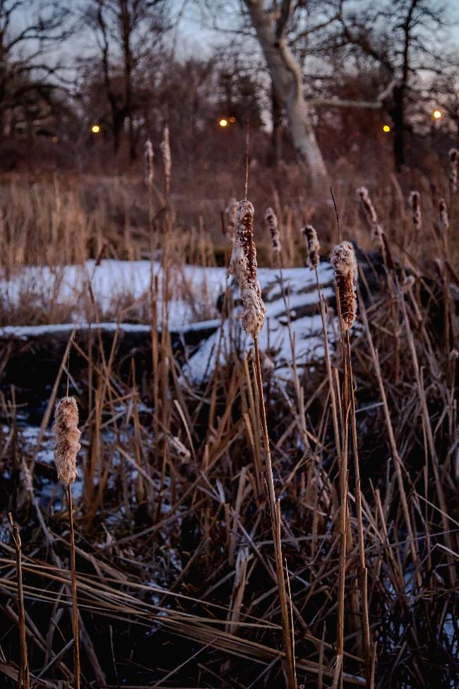 winter cattails forest park saint louis-5 small