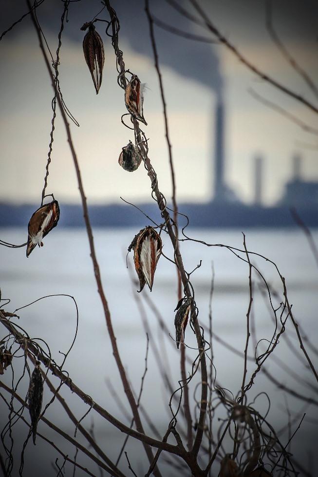 frozen mississippi milkweed seed pods
