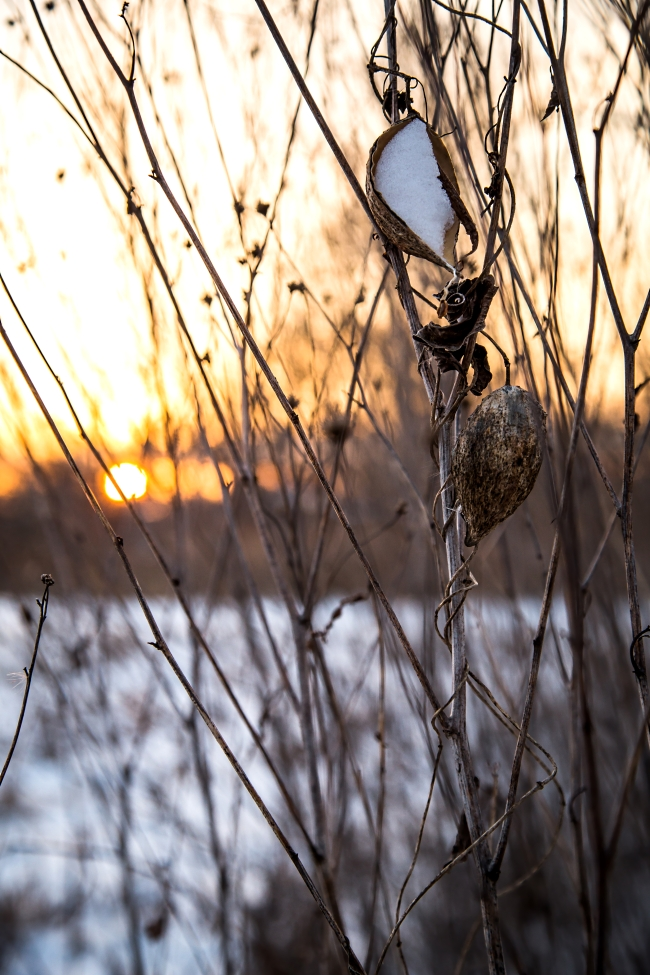 milkweed in snow-3 small