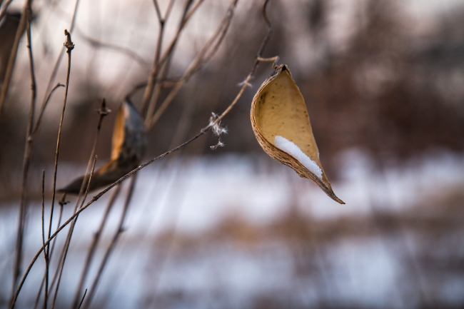 milkweed in snow-6 small