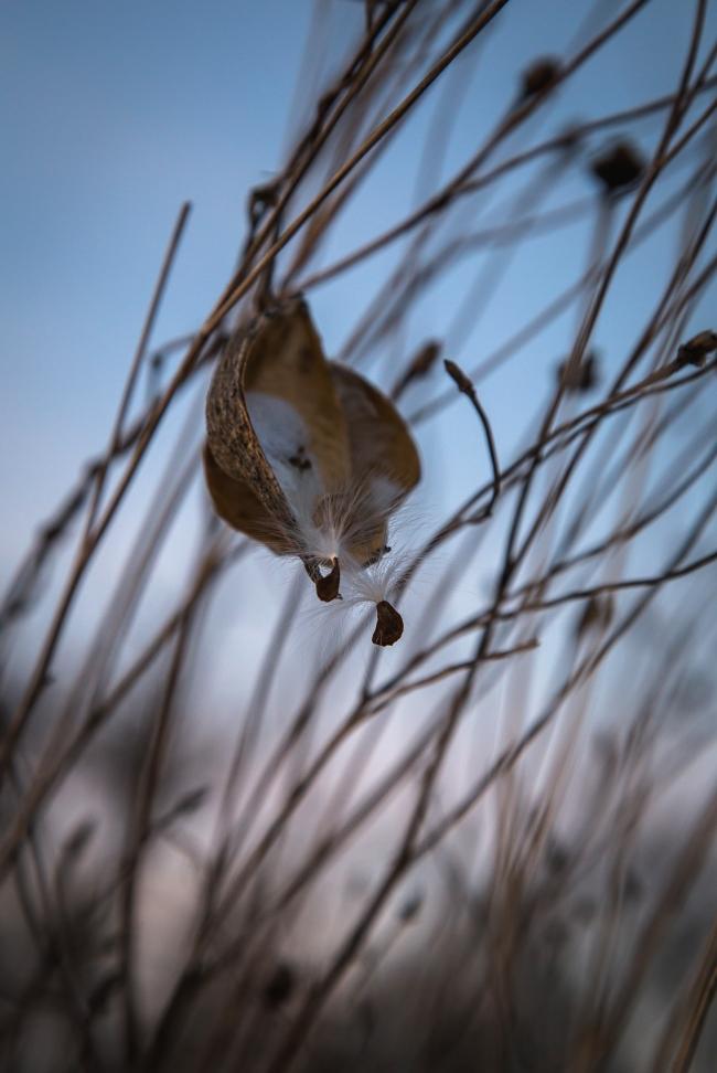 milkweed in snow-7 small