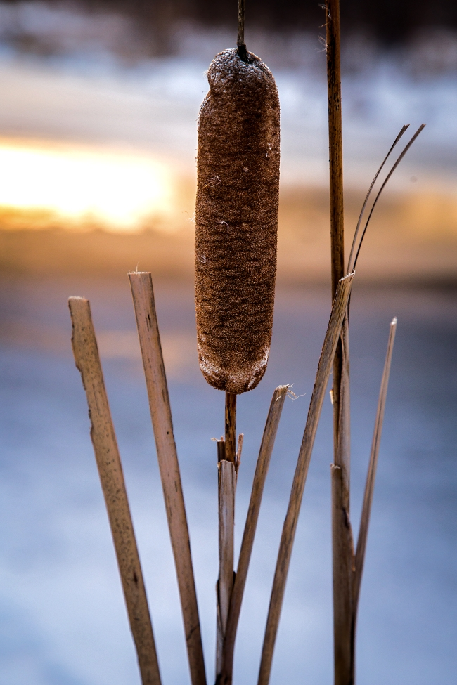 winter cattail at dusk vignetting-1 small