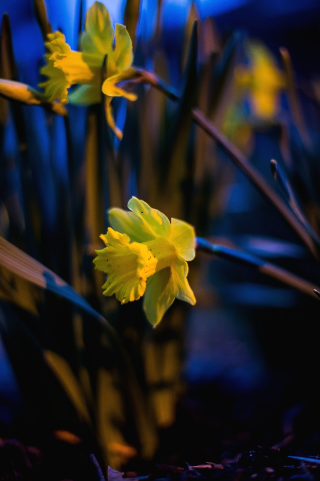 spring daffodils-2 small