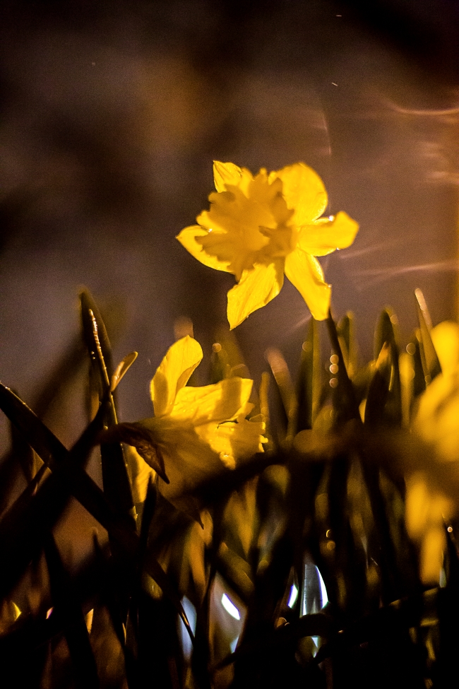 spring daffodils-4 small
