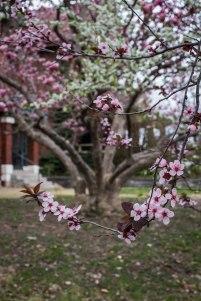 cherry crabapple magnolia-2