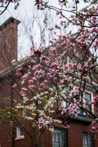 cherry crabapple magnolia-4