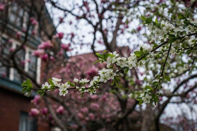 cherry crabapple magnolia-6