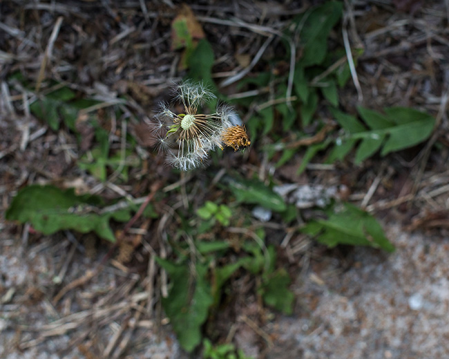 dandelion with crown-1 small