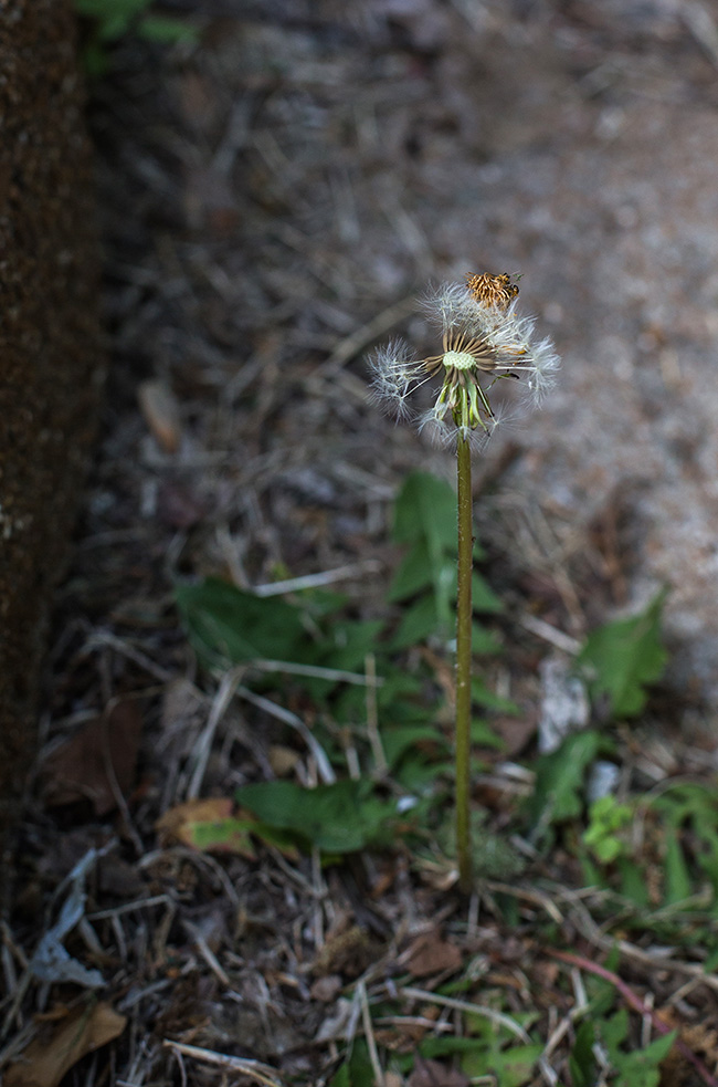 dandelion with crown-2 small