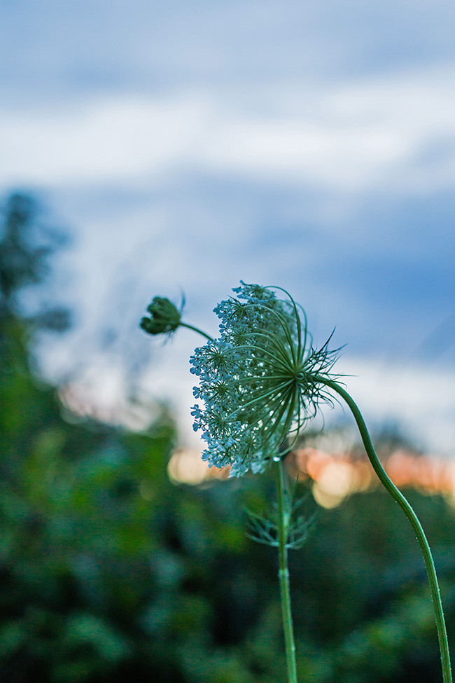 queen annes lace at dusk-1 small