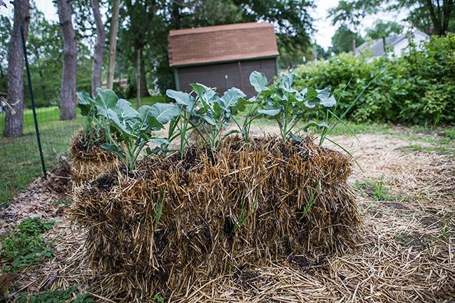 straw bale gardening-12 small