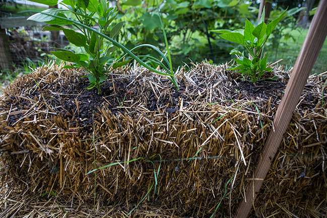 straw bale gardening-9 small
