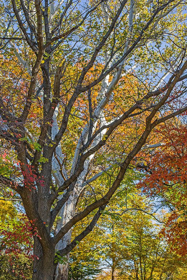 sycamore tree-2 small