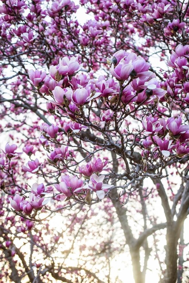queen magnolia in sunlight-1 small