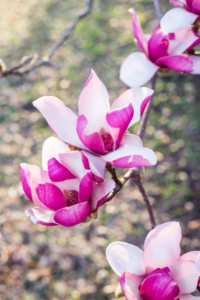 queen magnolia in sunlight-11 small
