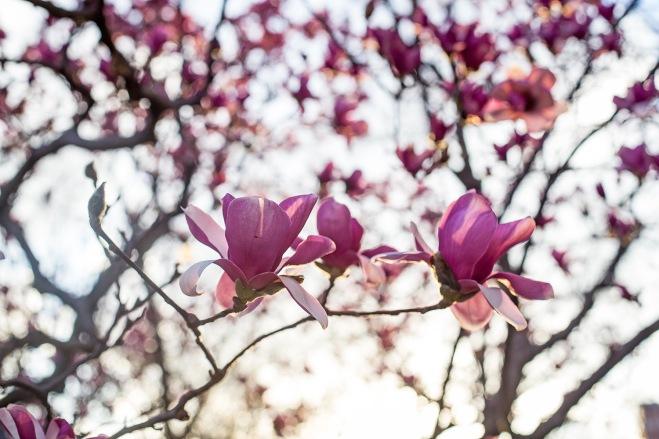 queen magnolia in sunlight-12 small