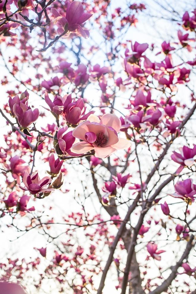 queen magnolia in sunlight-13 small
