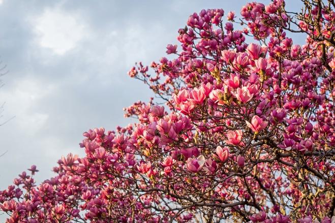 queen magnolia in sunlight-2 small