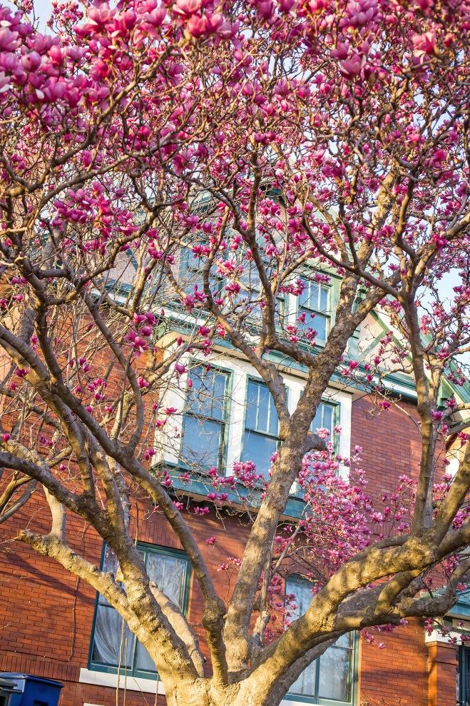 queen magnolia in sunlight-4 small