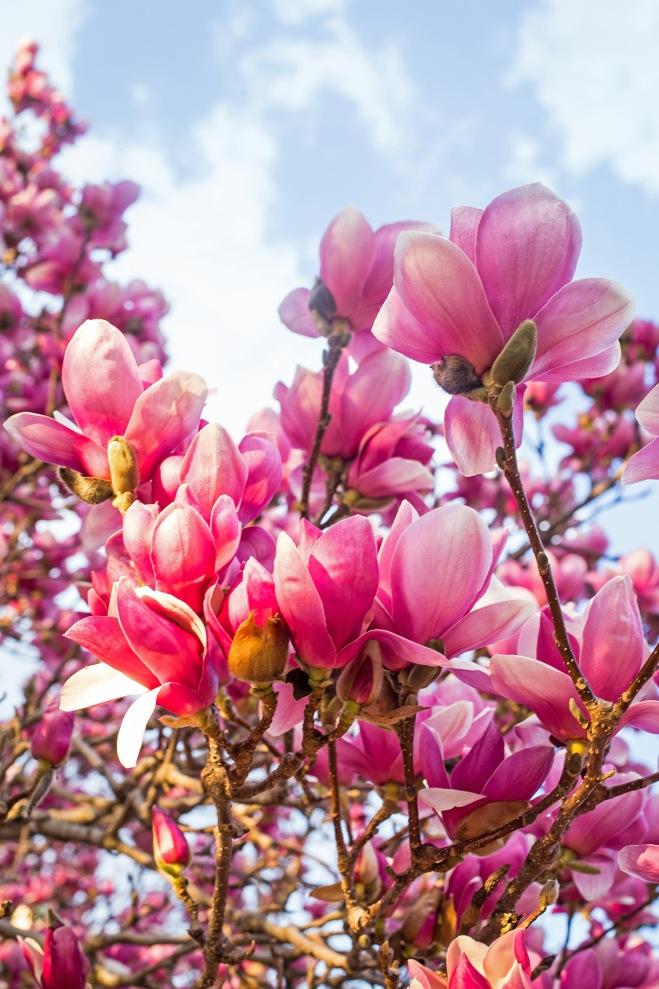 queen magnolia in sunlight-5 small