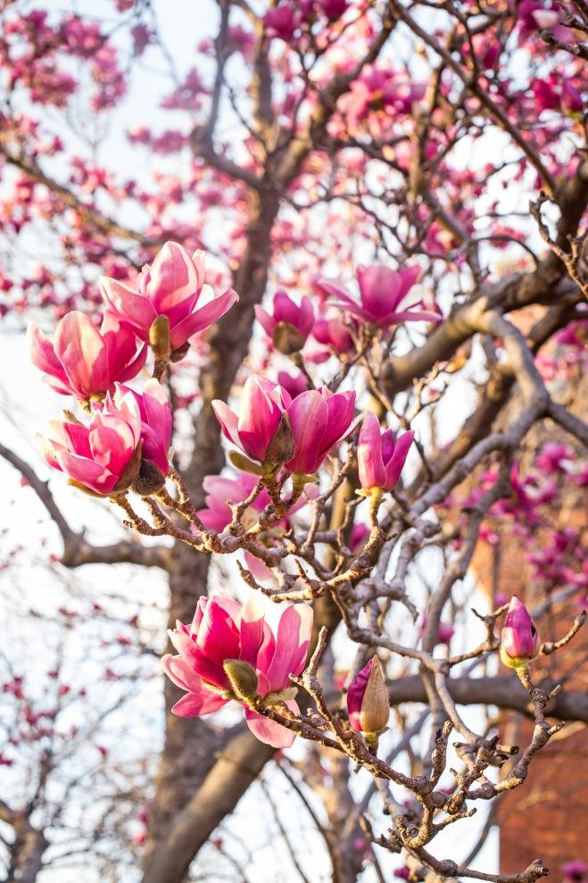 queen magnolia in sunlight-6 small