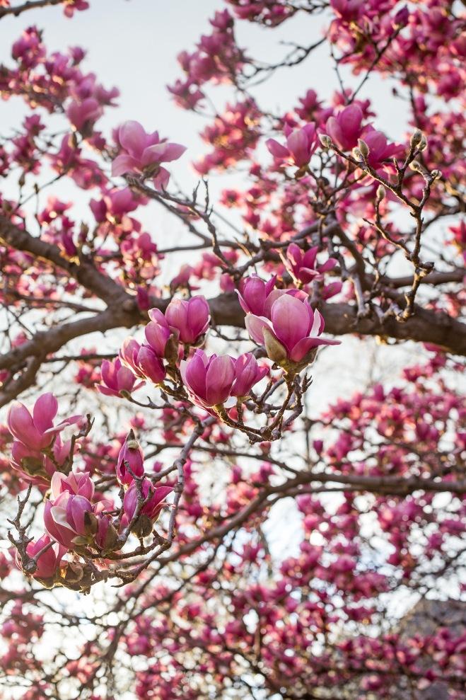queen magnolia in sunlight-7 small