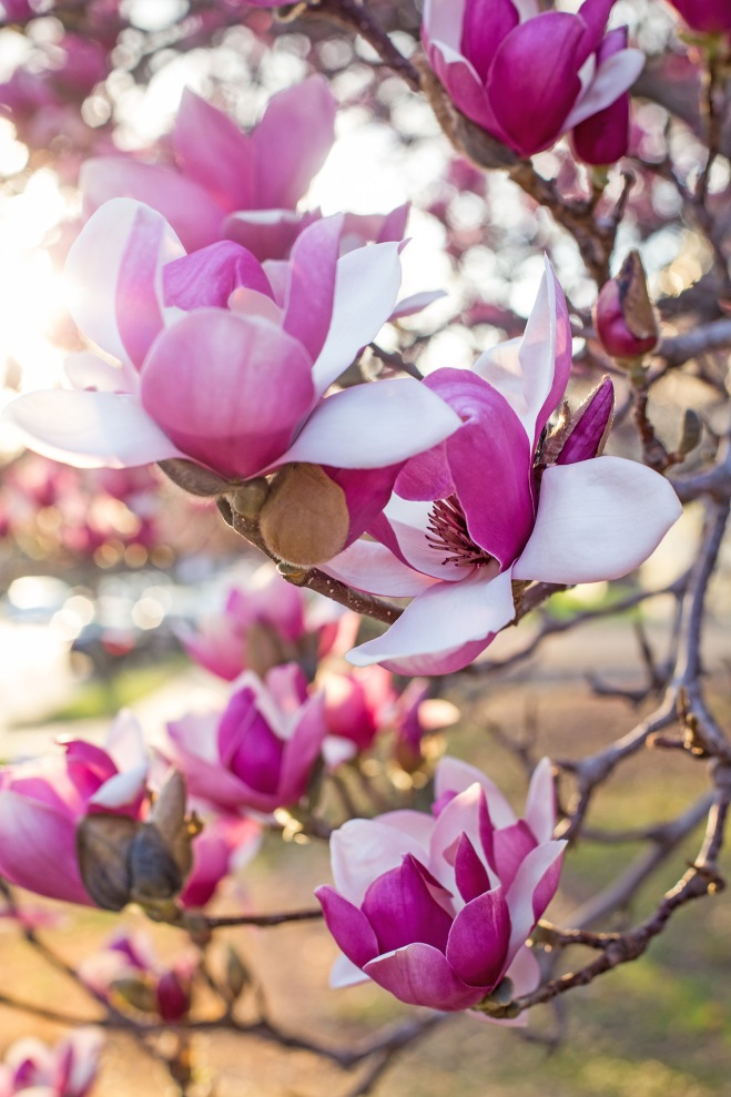 queen magnolia in sunlight-9 small