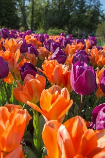 tower grove tulips-1 small