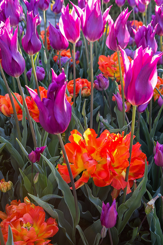 tower grove tulips-10 small
