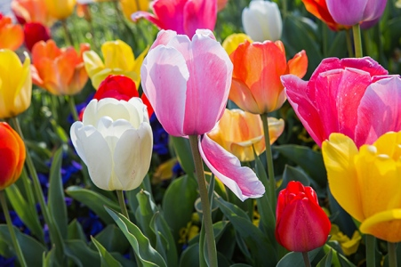 tower grove tulips-4 small