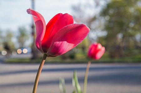 tower grove tulips-6 small
