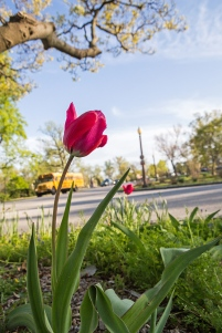 tower grove tulips-7 small