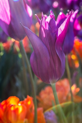 tower grove tulips-8 small