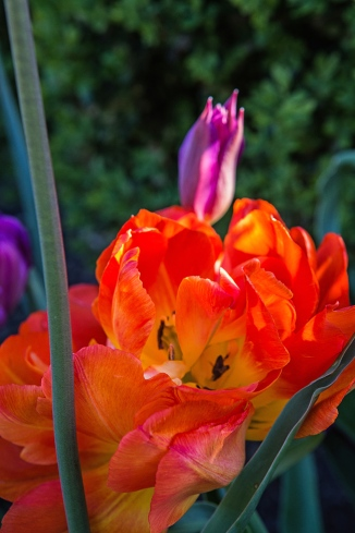 tower grove tulips-9 small