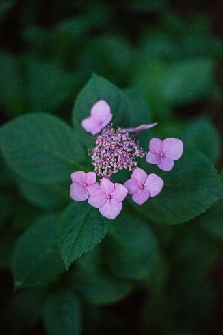 hydrangea at dusk-1 small