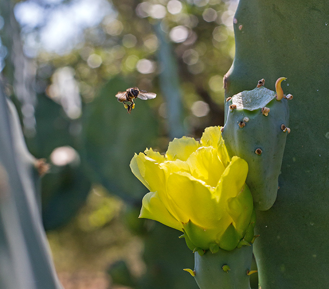 pollinating the prickly pear-3 small