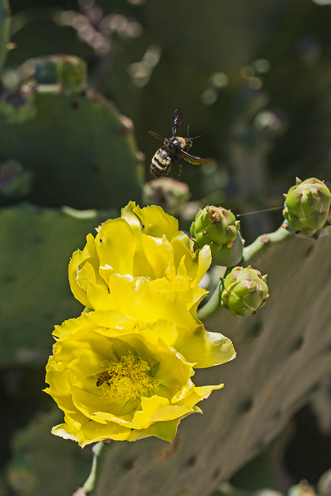 pollinating the prickly pear-4 small
