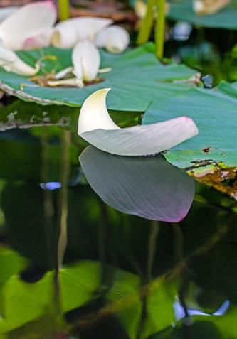floating lotus leaf-1 small