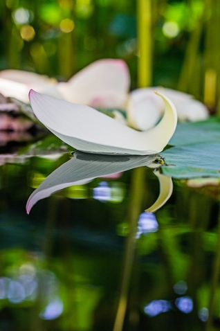 floating lotus leaf-2 small