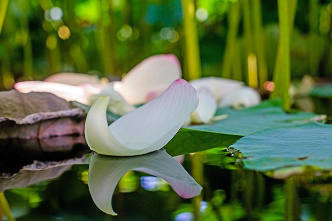 floating lotus leaf-3 small
